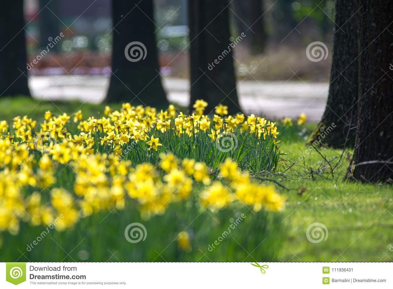 Blossoming of spring yellow daffodils flowers in park stock image blossoming of spring yellow daffodils flowers in park spring season mightylinksfo