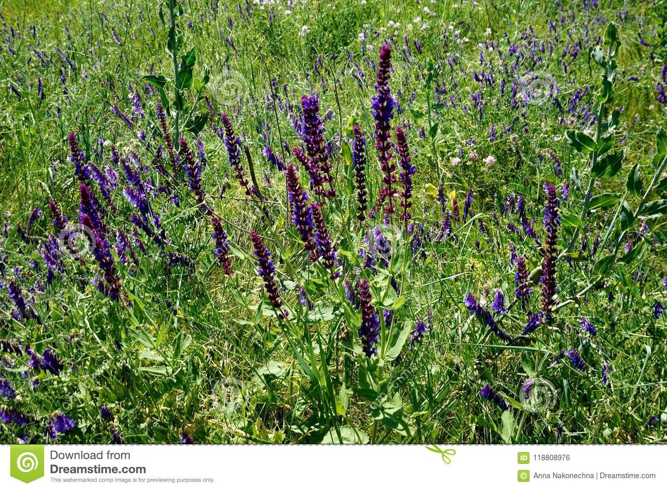 Blossoming steppe grass sage Sālvia officinālis and on the field