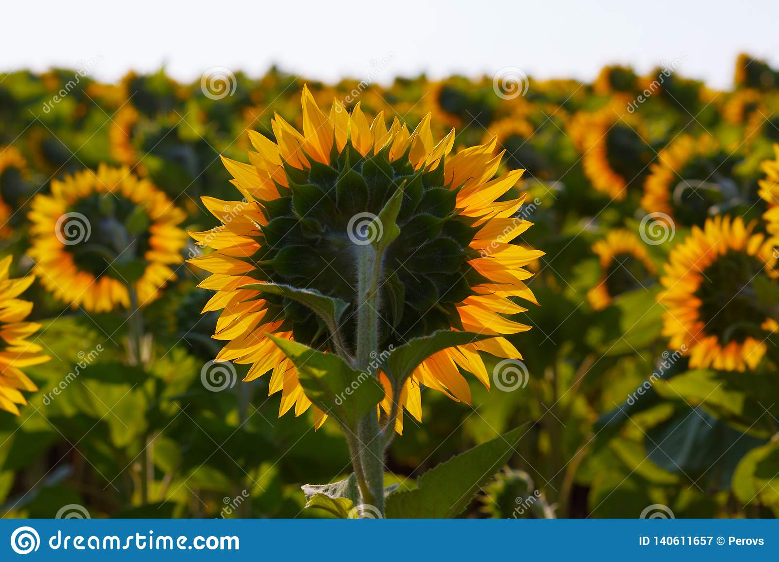 The blossoming sunflower close up against the sun