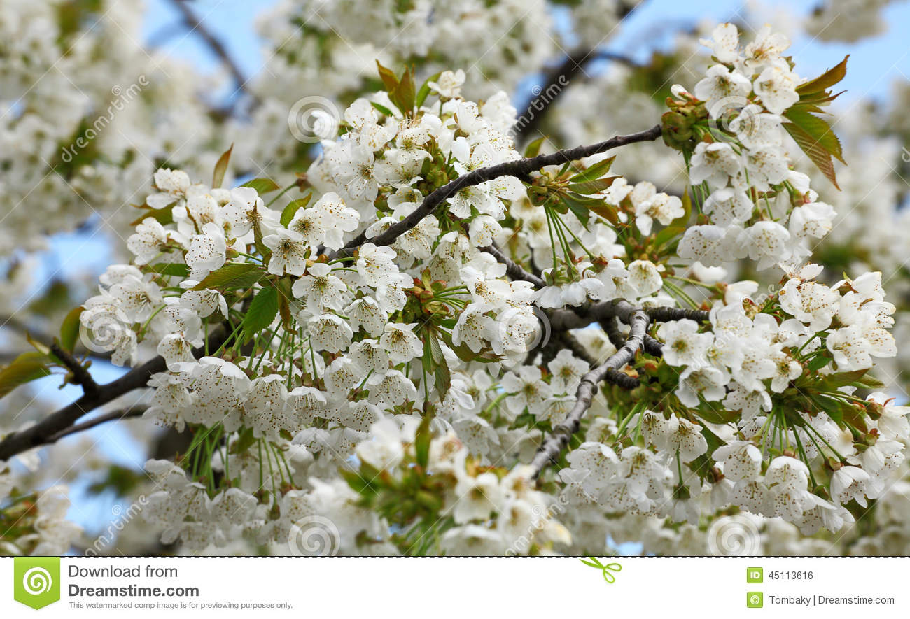 Blossoming Tree With Beautiful White Flowers Stock Photo Image Of
