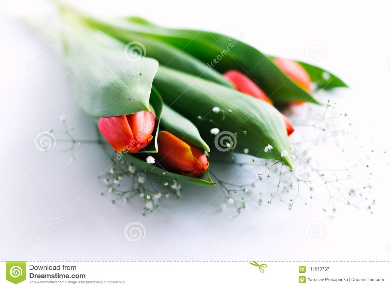 Blossoming tulips on a white background. Isolate, the concept of spring