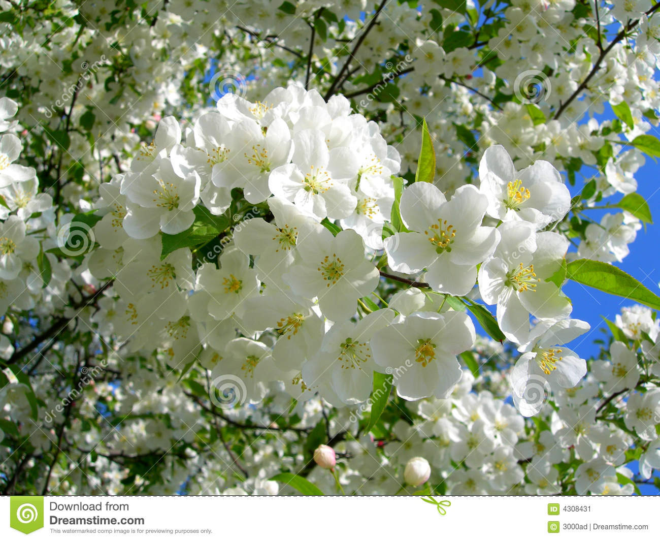Blossoming White Flower Trees Stock Image Image