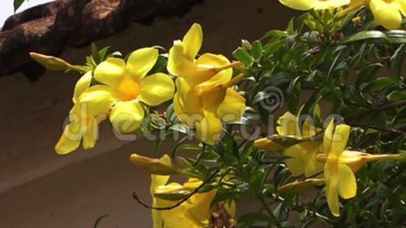 Blossoming yellow flowers in india stock video video of petal blossoming yellow flowers in india stock video video of petal india 125583893 mightylinksfo