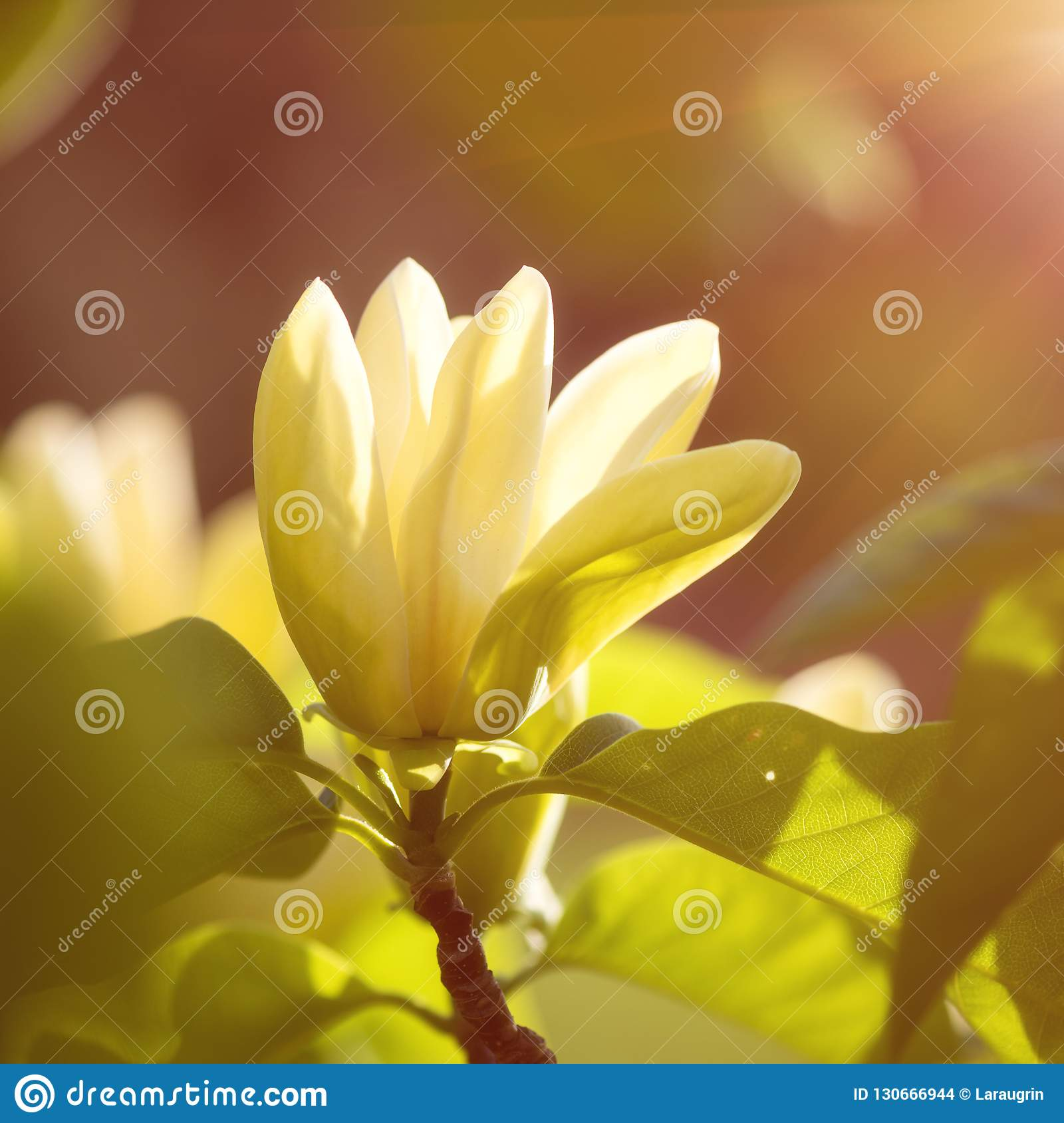 Blossoming Yellow Magnolia Flower In The Garden Macro Image