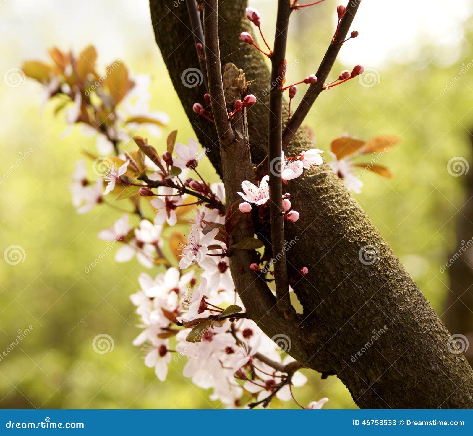 Blossomming av det körsbärsröda trädet i vår