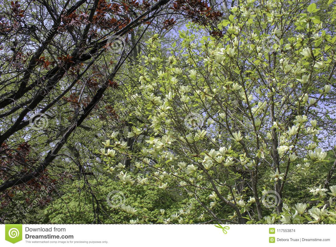 Yellow Magnolia Tree Blooming In The Park Stock Photo Image Of