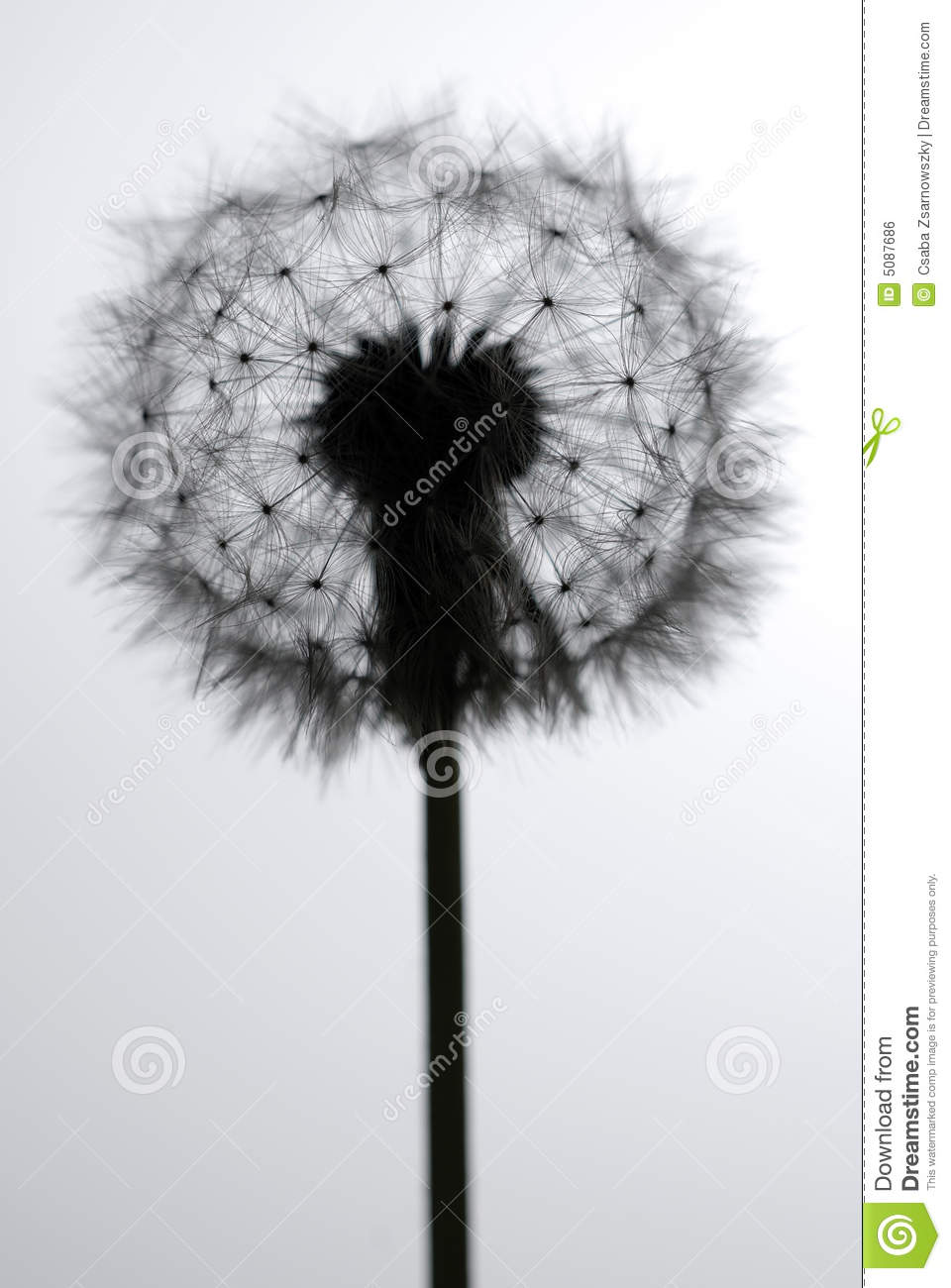 blow ball stock photo image of nature sensitive delicate 5087686
