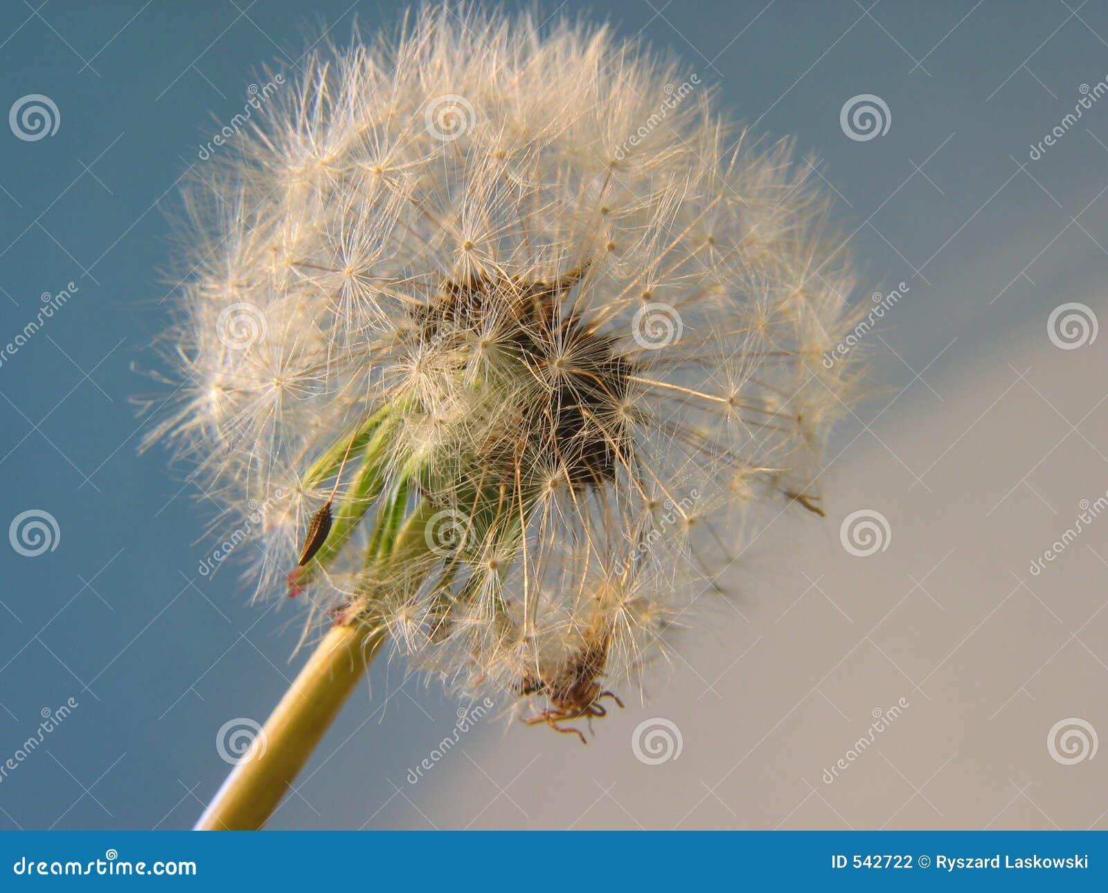 blow ball stock photo image of macro fluff flowers wind 542722