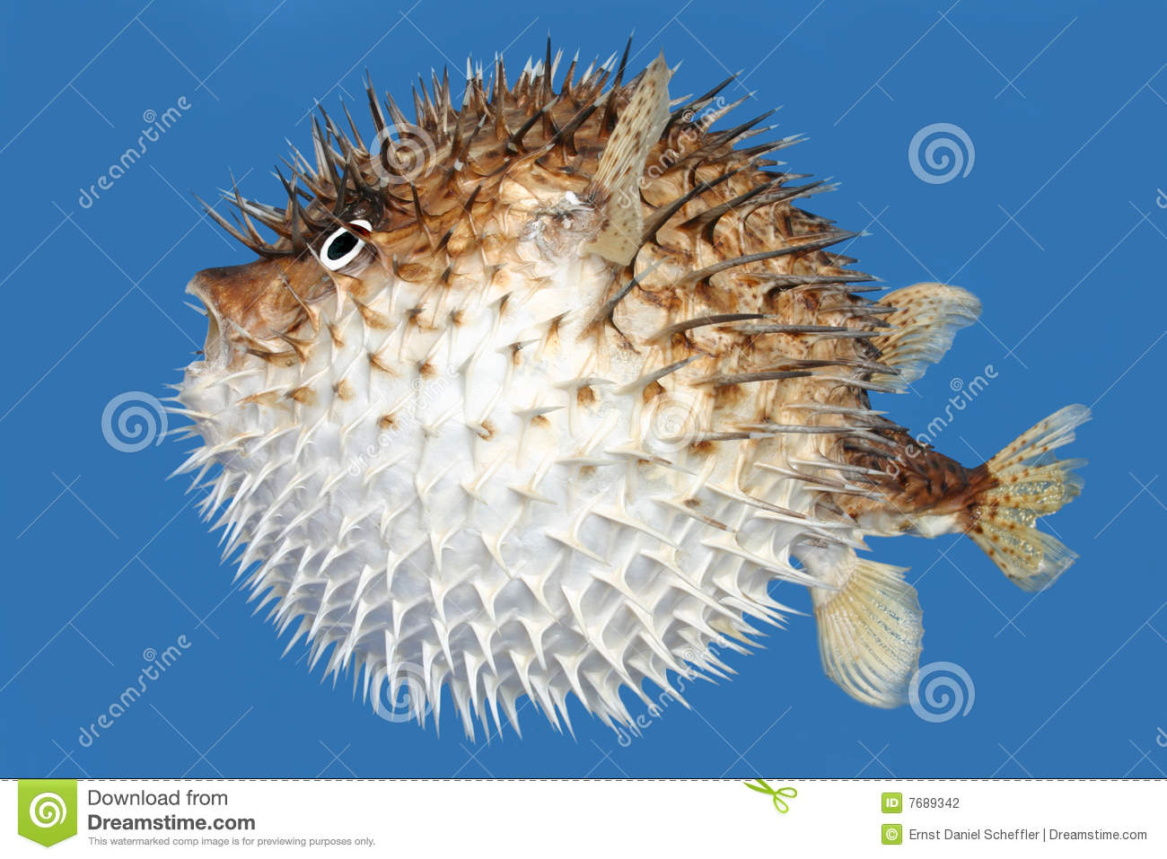 Side view of a blow fish, or porcupine fish, isolated on a blue ...