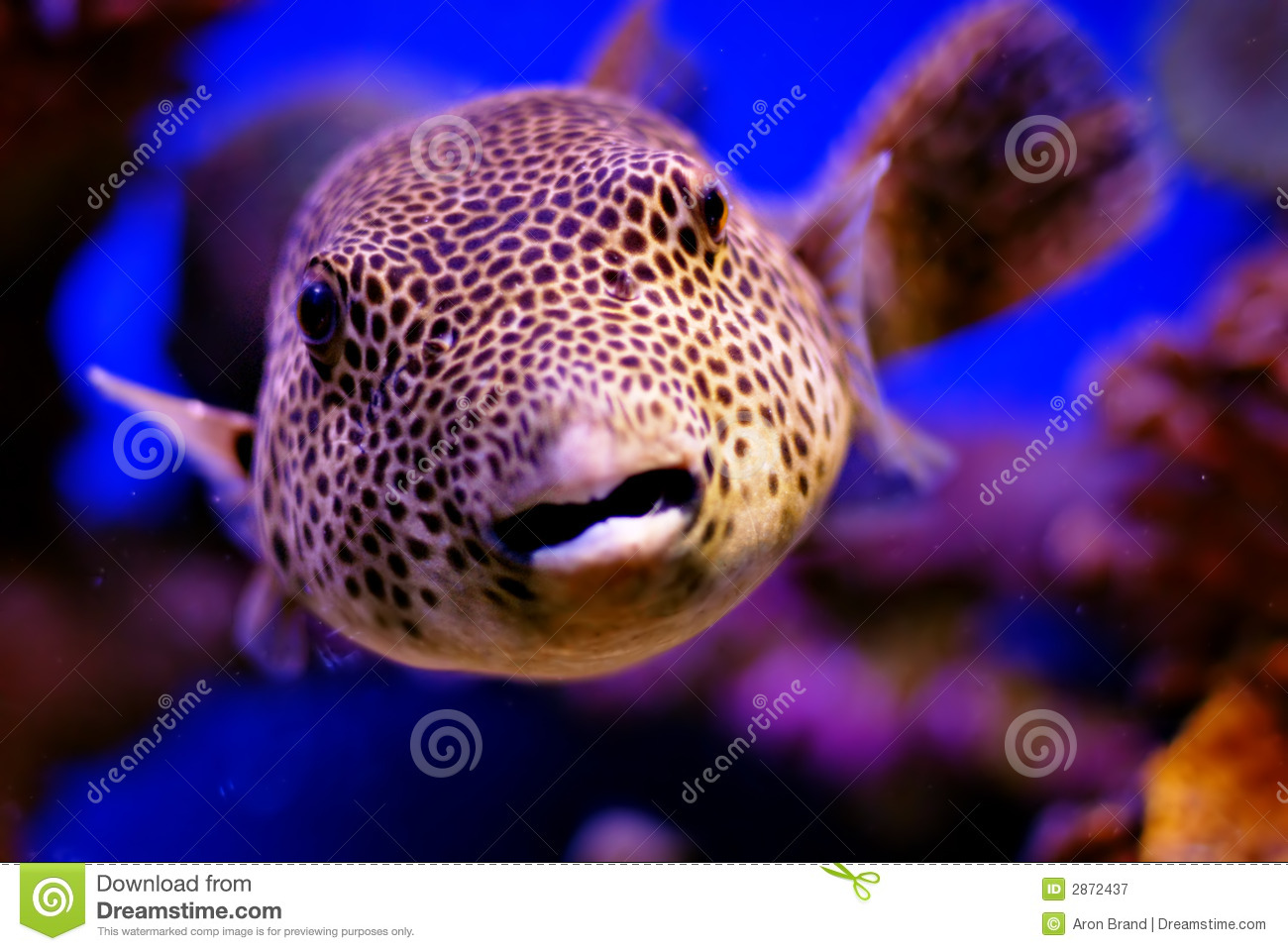Blowfish Royalty Free Stock Photography - Image: 2872437