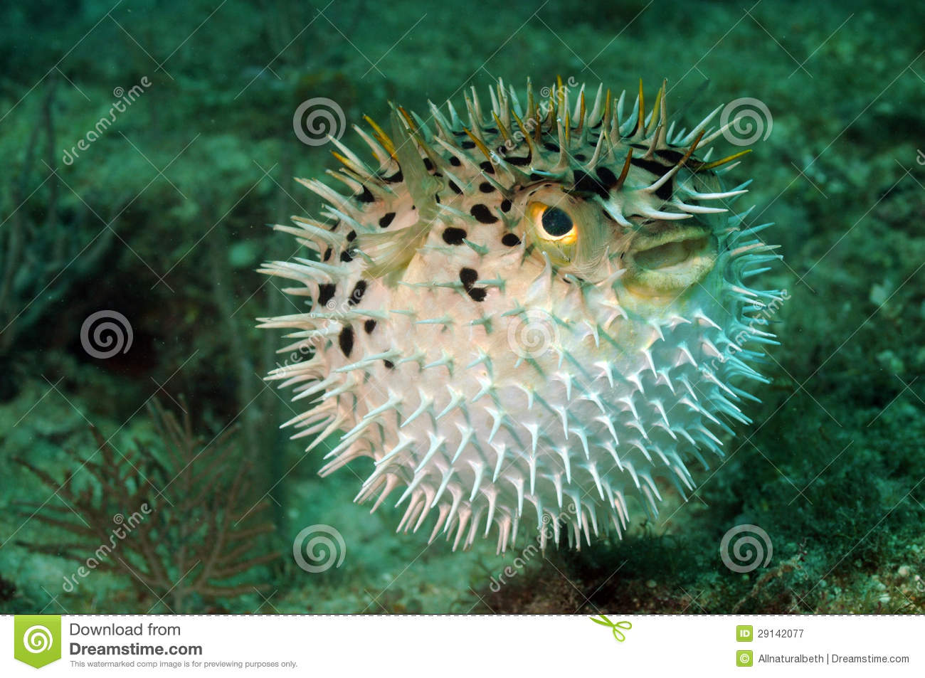 Blowfish or puffer fish in ocean royalty free stock for Puffer fish price