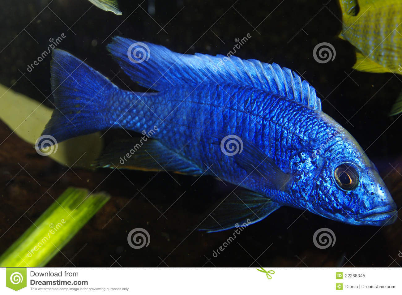 Blue african cichlid lake malawi royalty free stock photo for African cichlid fish
