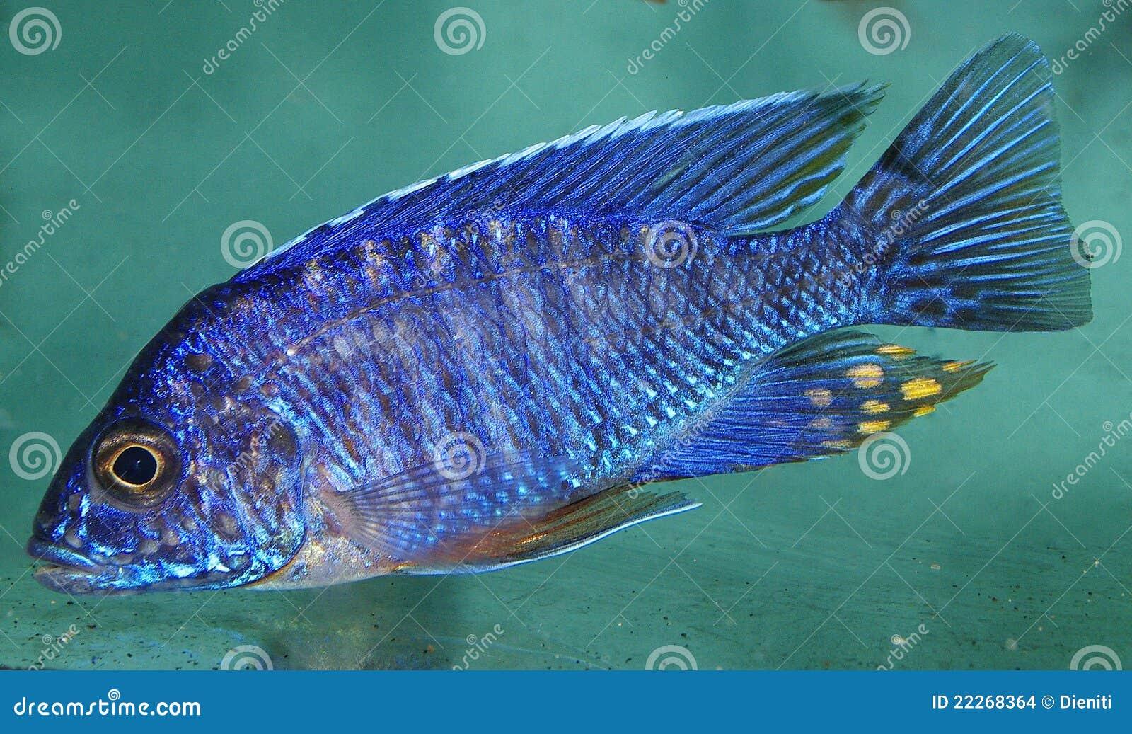 Blue african cichlid lake malawi stock images image for Lake malawi fish