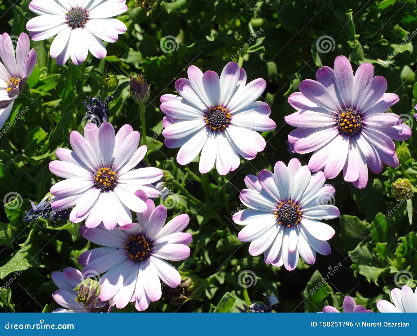 blue african daisy