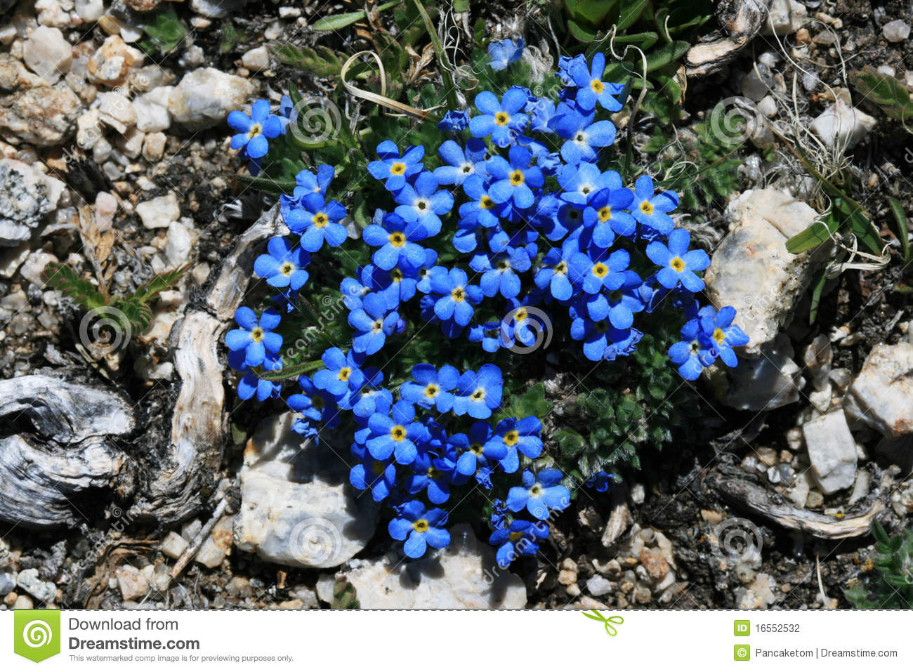 Blue Alpine Flowers Stock Photography Image 16552532