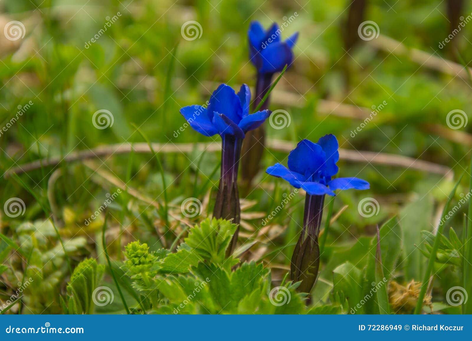 Blue alpine flowers gentiana bavarica stock image image of petal blue alpine flowers gentiana bavarica izmirmasajfo