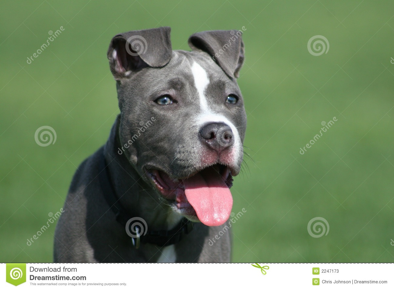 Beautiful Blue Pit Bull Puppy at Dog Park.