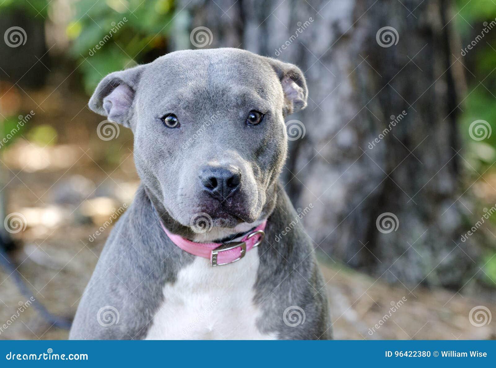 Blue American Pitbull Terrier Dog Stock Photo - Image of