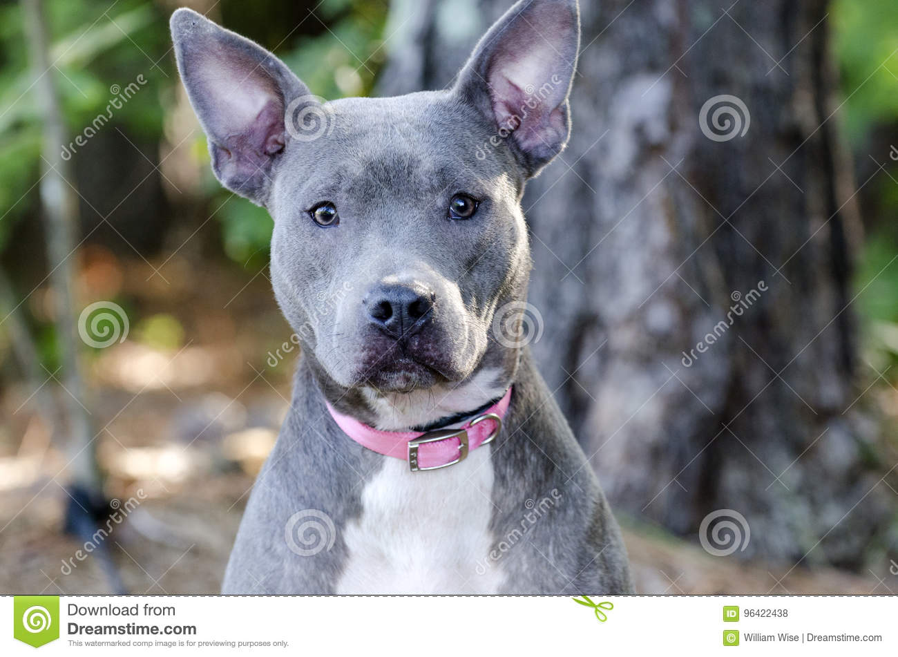 blue american pitbull terrier dog stock photo image of puppy