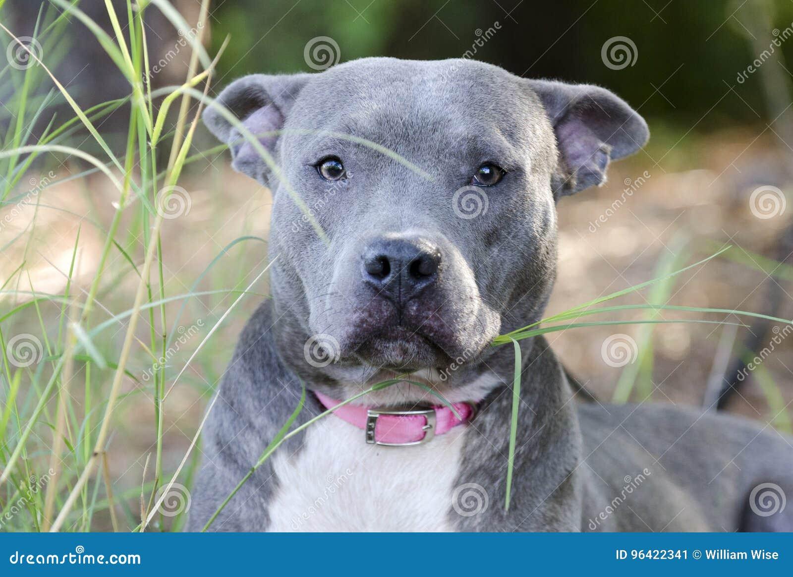 Blue American Pitbull Terrier Dog Stock Image - Image of ... Bull Terrier Blue Nose Pitbull Mix