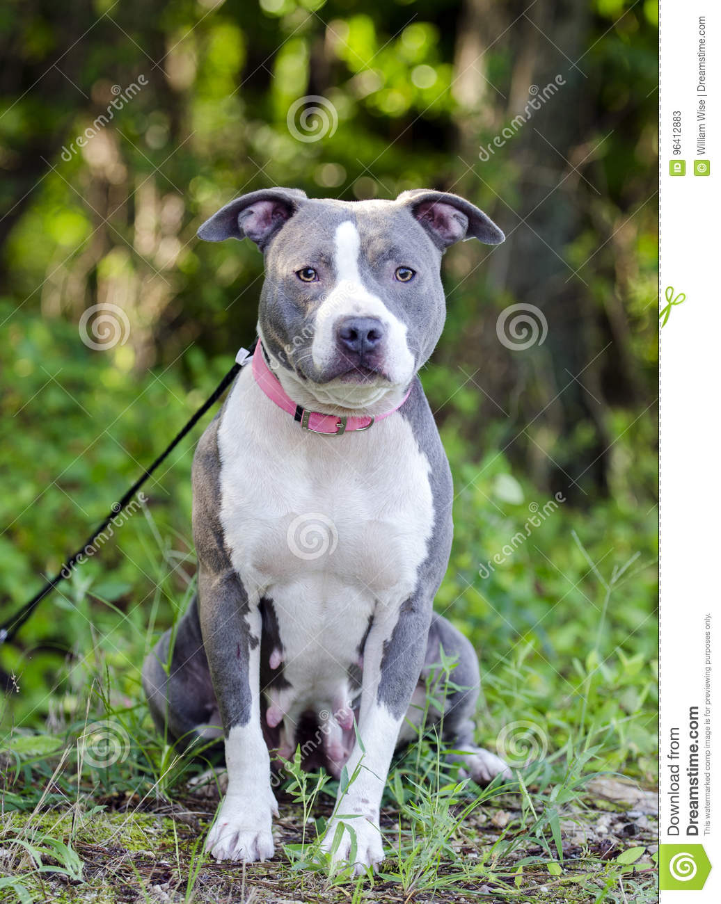 blue american pitbull terrier dog stock image image of walton