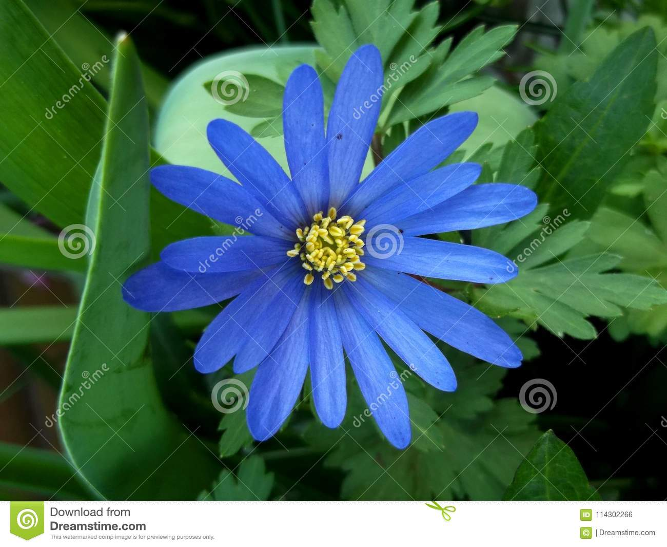 A Blue Anemone Blanda in the Woods