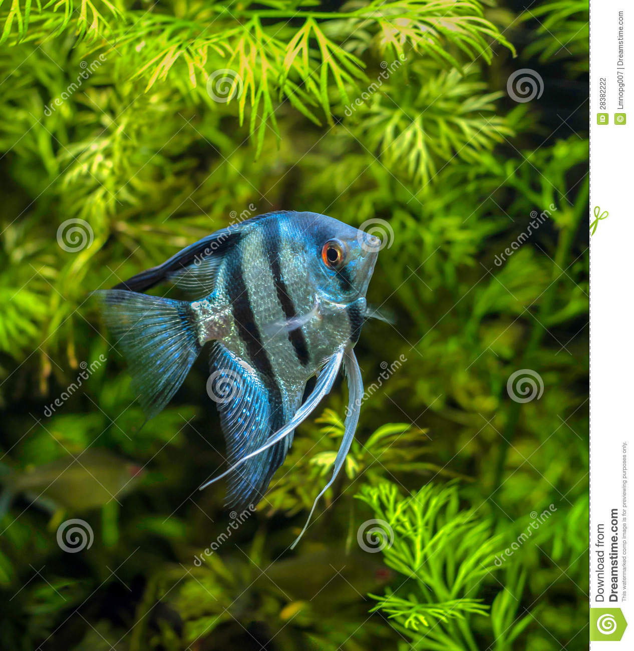 Blue Angelfish Stock Photography - Image: 28382222