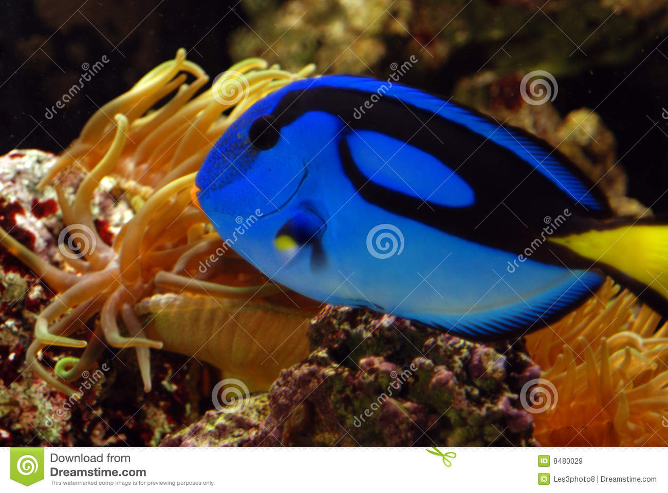 Blue angelfish in gold anemone