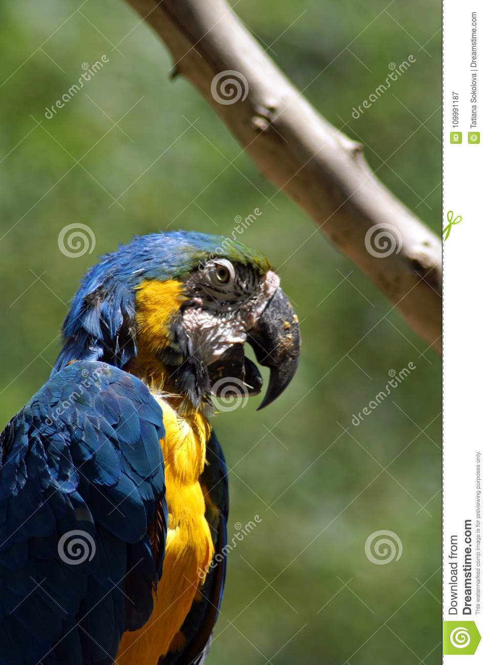 Blue ara. The Ara macaws are large striking parrots with long tails, long narrow wings and vividly coloured plumage