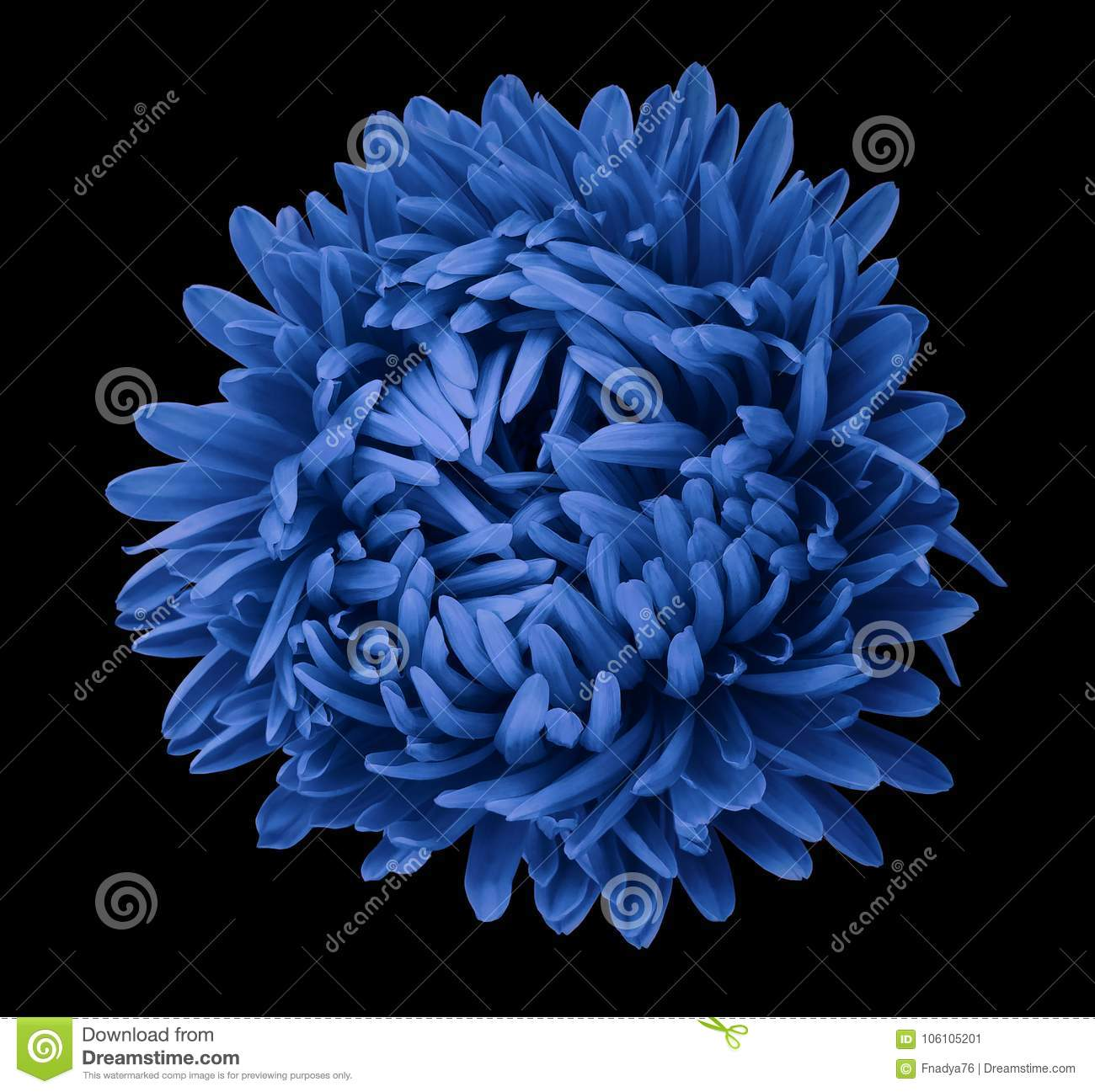 Blue Aster Flower On The Black Isolated Background With Clipping