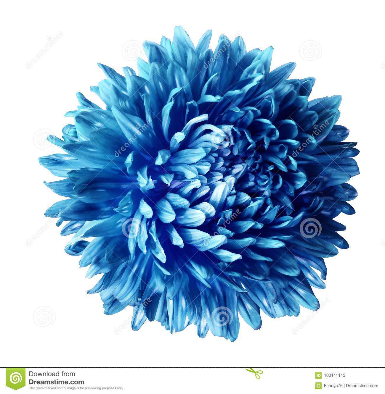 Blue Aster Flower Isolated On White Background With Clipping Path