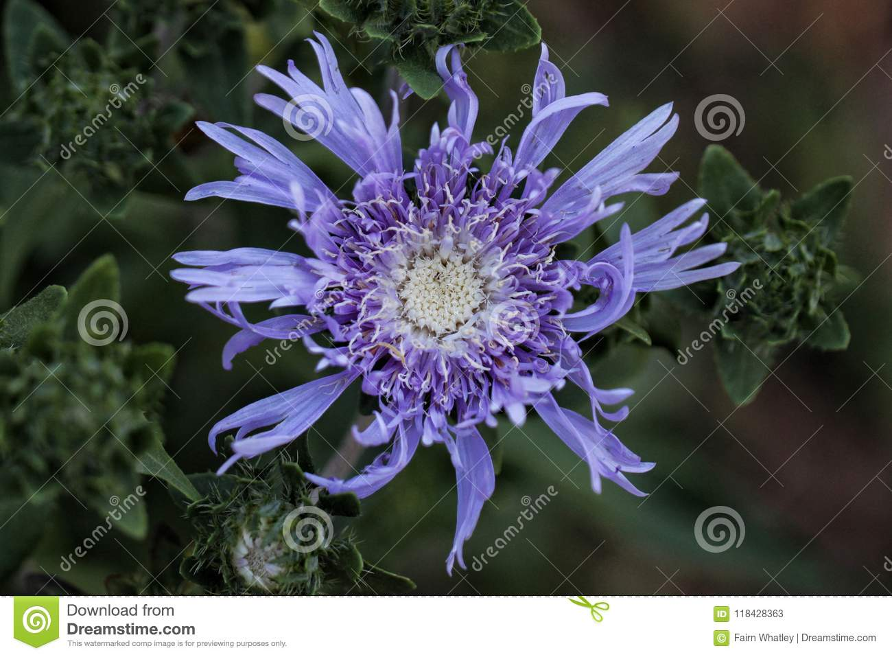 Blue Aster Flower Opens To The Sun Stock Image Image Of Reaching