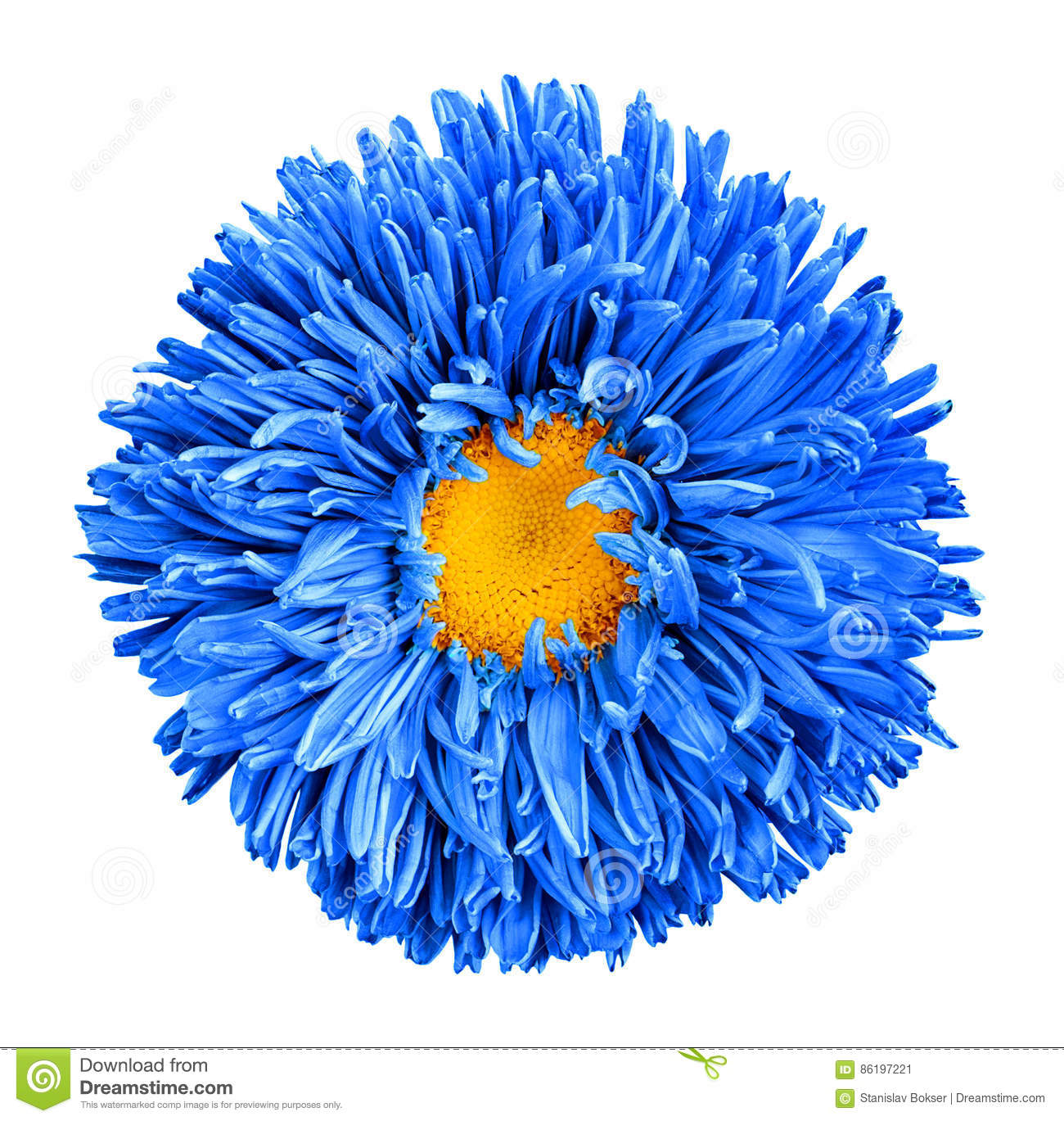Blue Aster Flower With Yellow Heart Macro Photography Isolated Stock