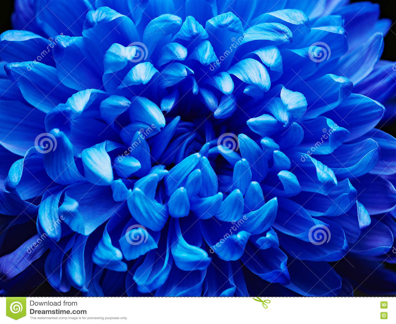 Blue Aster Stock Image Image Of Florist Aster Smell 80674539