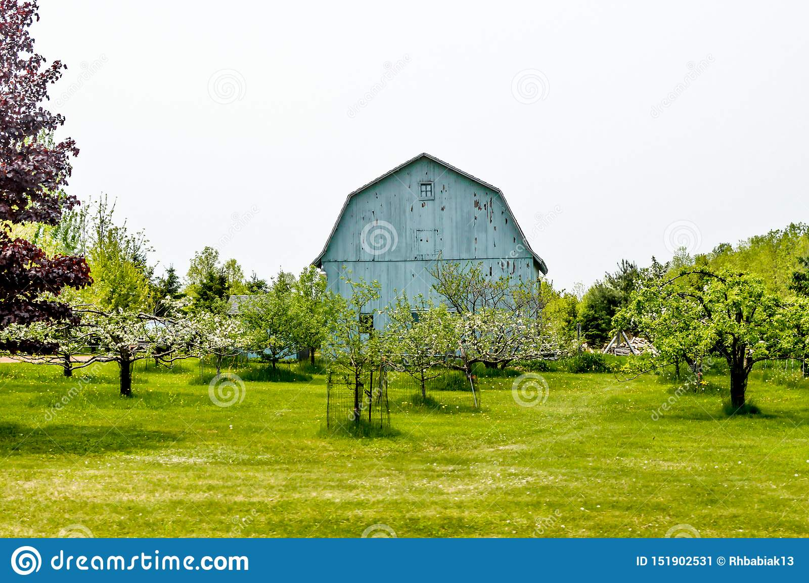 Blue Barn With Apple Orchard - Spring Stock Image - Image ...