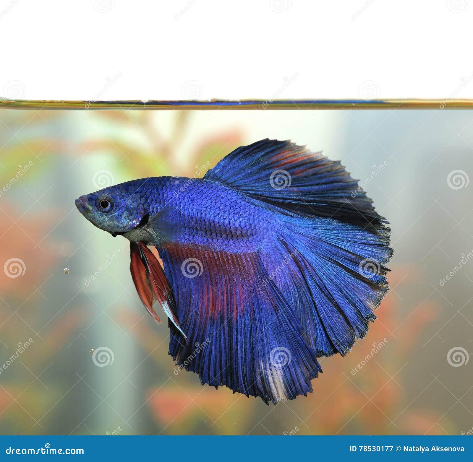 Blue betta fish Aquarian swims in aquarium water