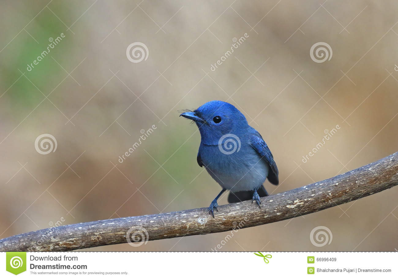 Blue bird called black naped monarch sitting on a perch for 2 little birds sat on my window