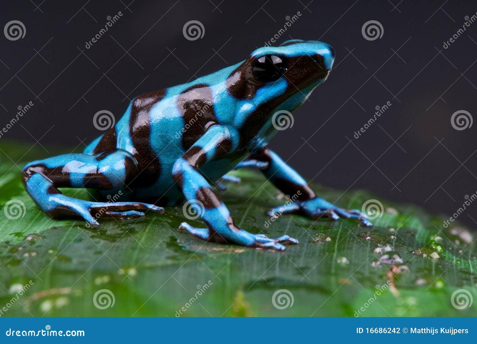 Blue and black poison dart frog