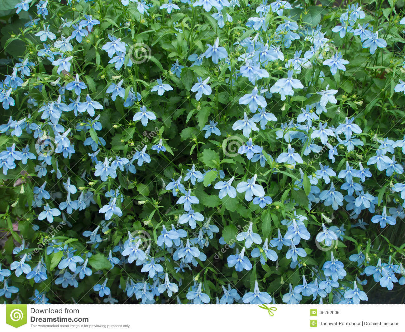 Blue blooming tropical flower stock photo image 45762005 for Blue flowering bush