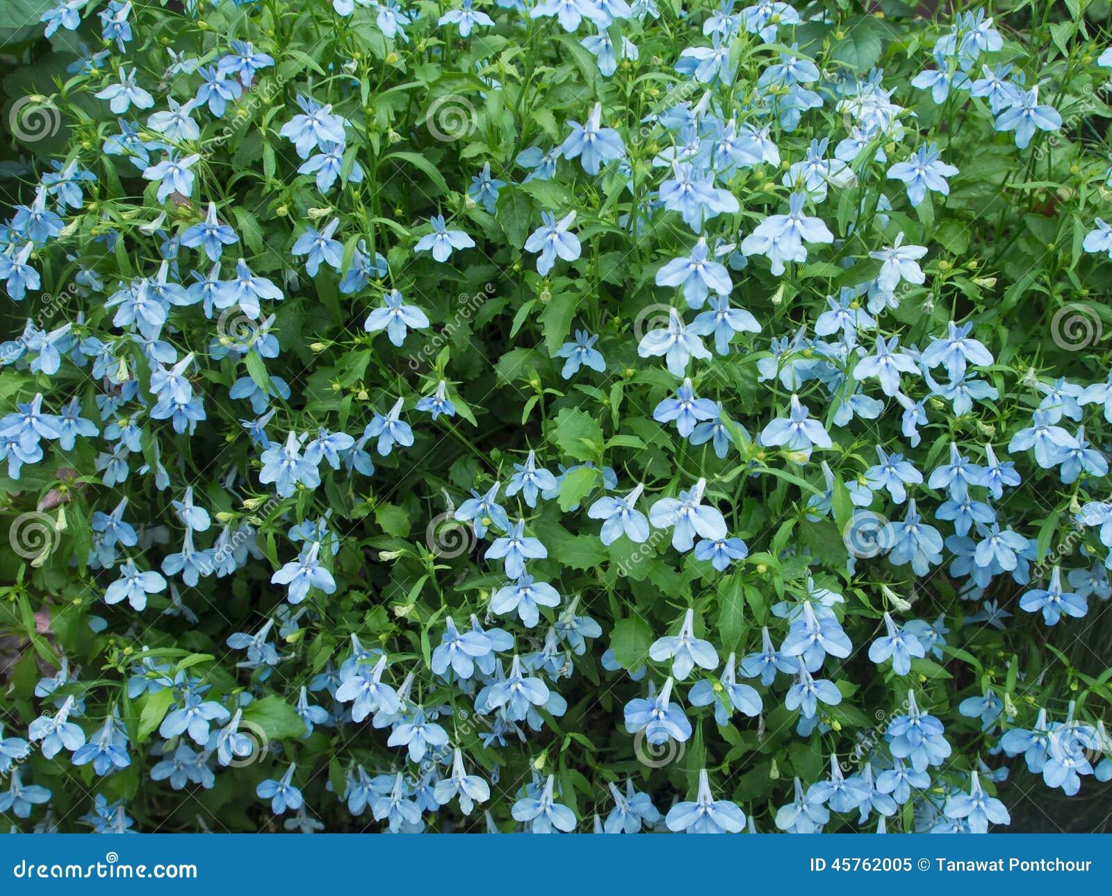 Blue Blooming Tropical Flower