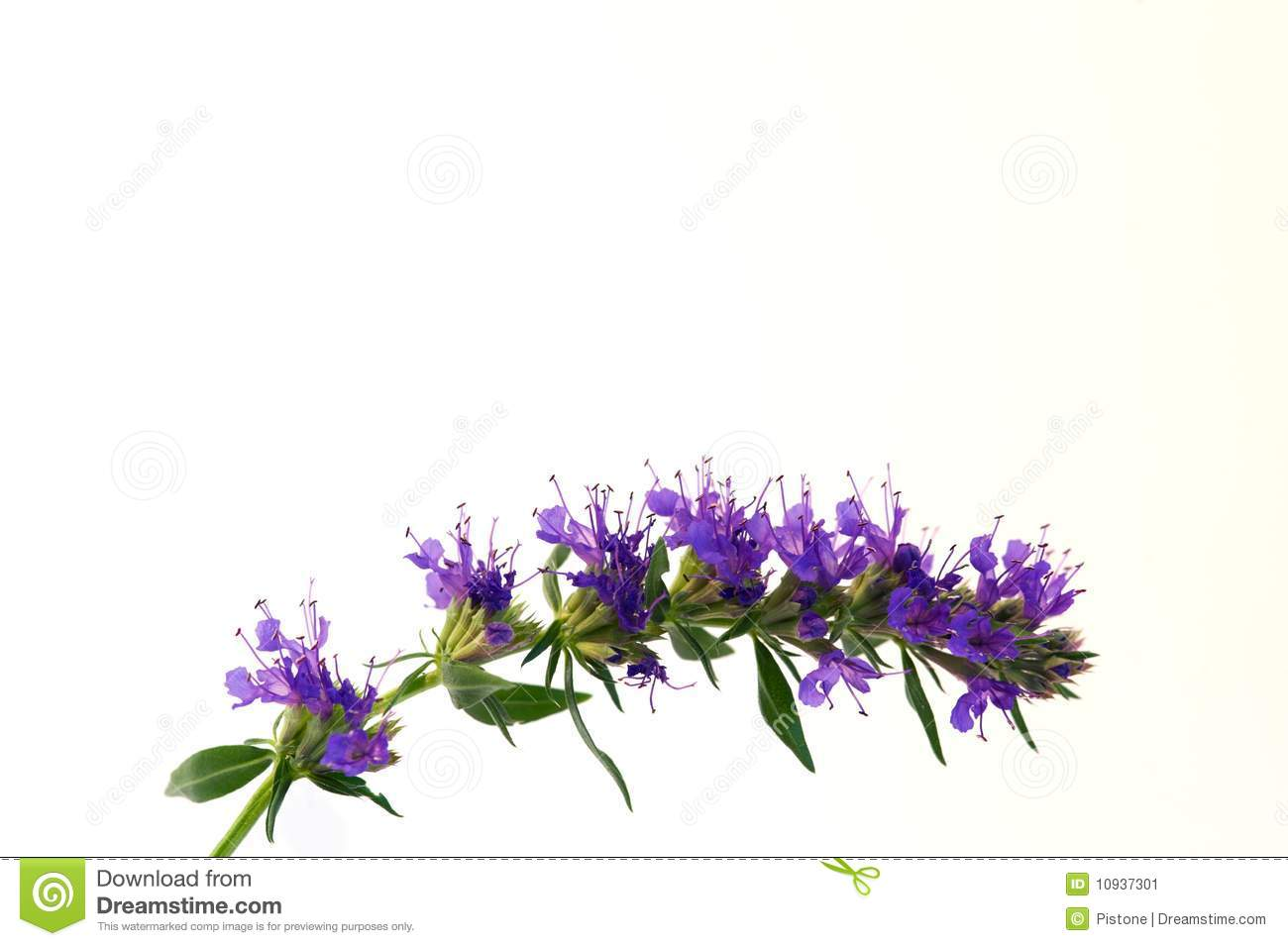 Blue blossoms of Hyssop