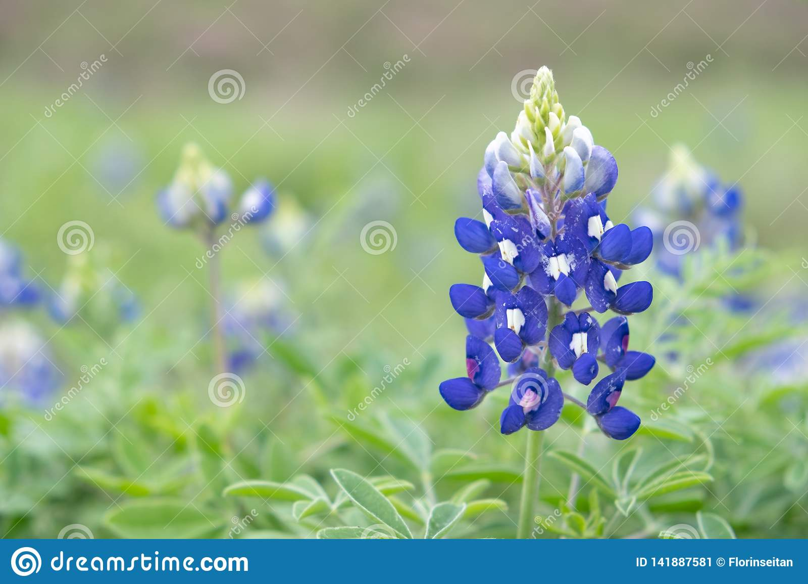 Blue bonnets field, close up