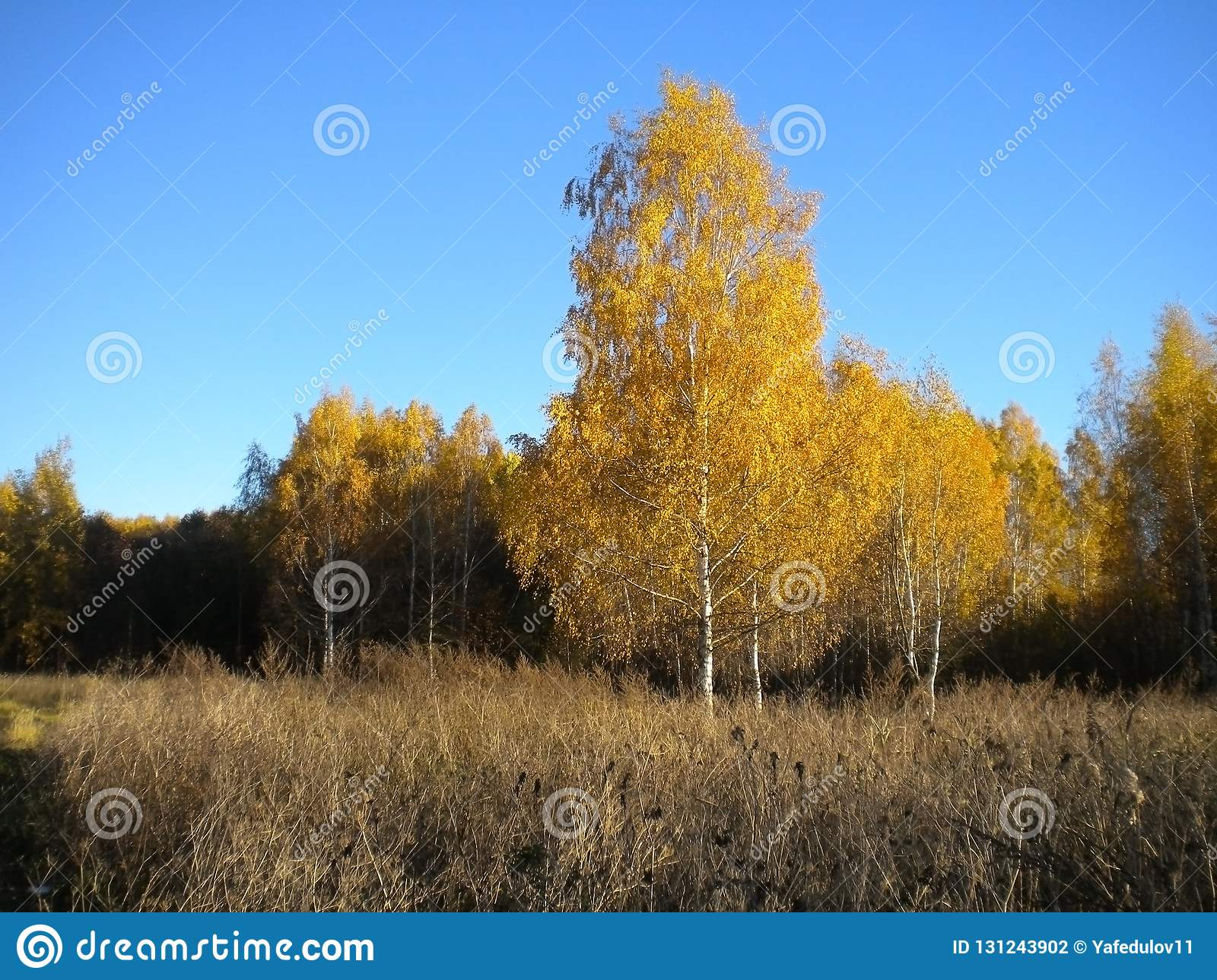 Blue bright sky, autumn, yellow trees, dried grass in the meadow
