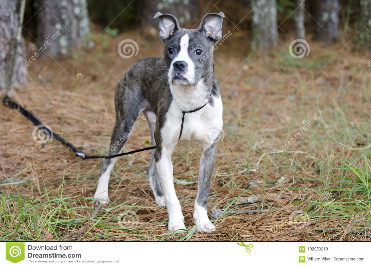 Blue Brindle Pitbull Boston Terrier Mixed Breed Puppy Dog