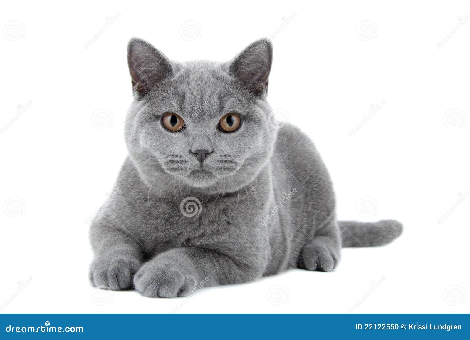 Blue British Shorthair Cat Stock Image