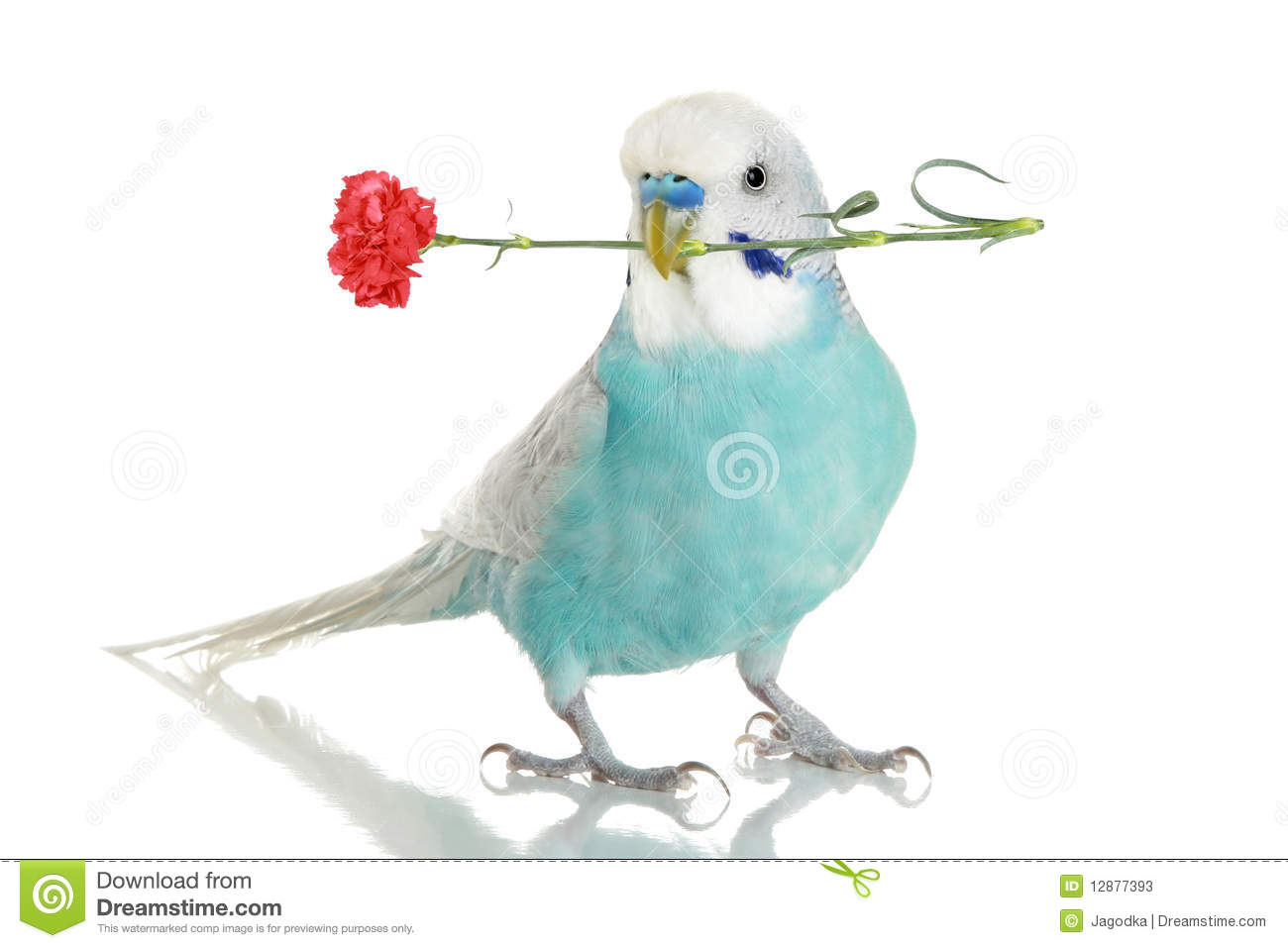 Blue budgie with a carnation