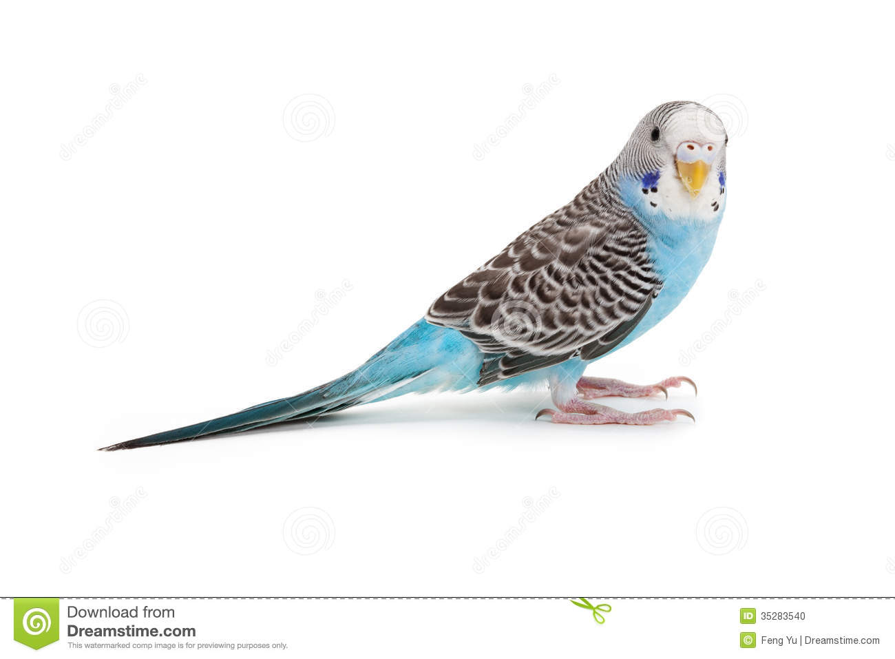 Blue Budgie Stock Photo - Image: 35283540