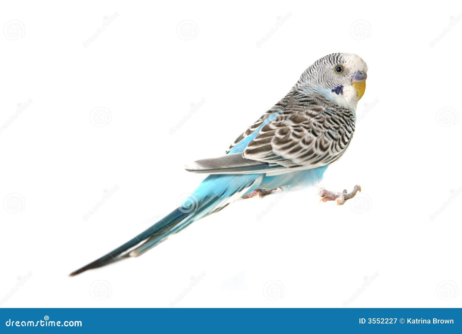 Blue Budgie Parakeet Bird Royalty Free Stock Photography - Image ...