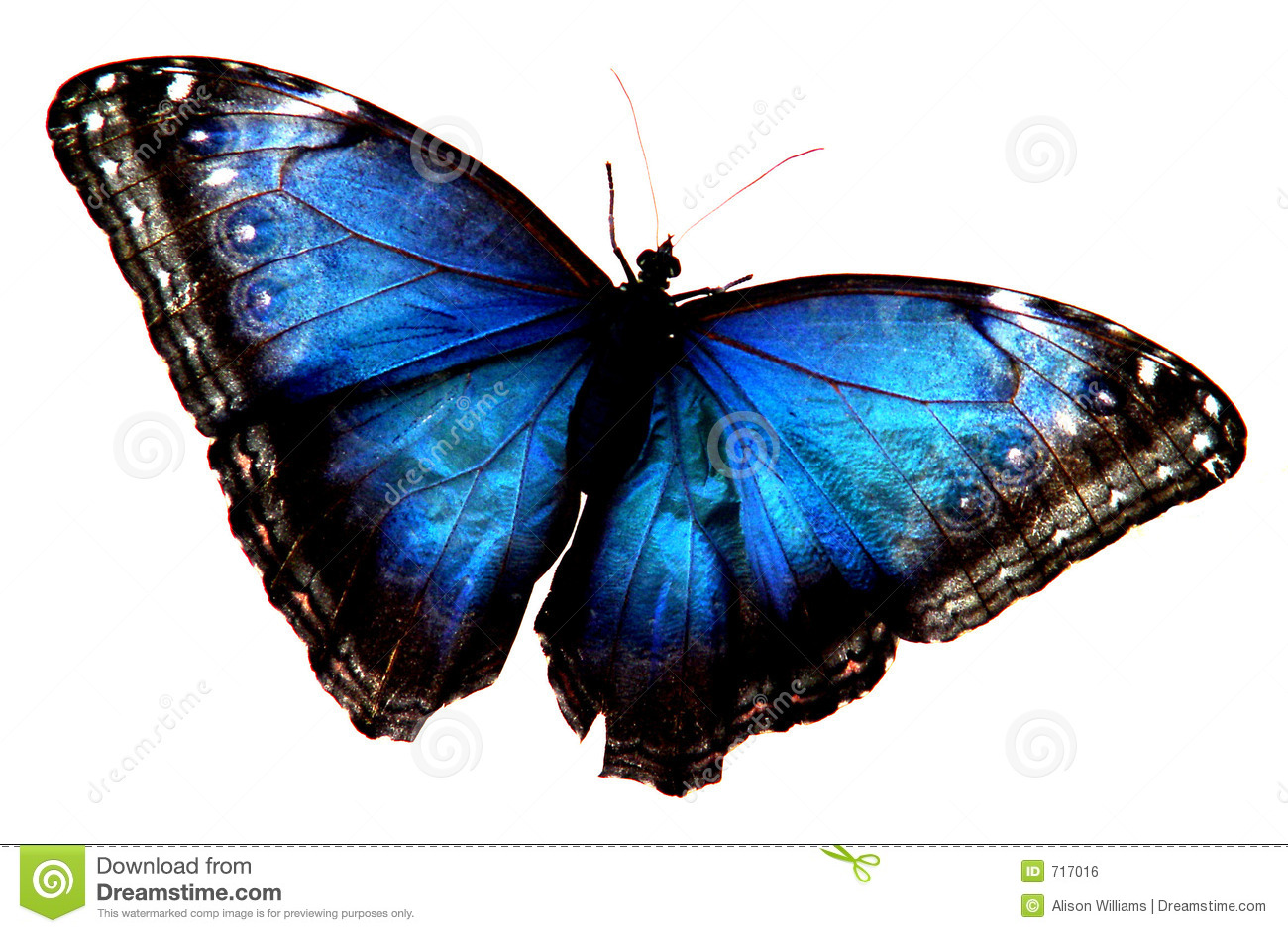 Blue Butterfly Stock Photo Image Of Water Iridescent 717016