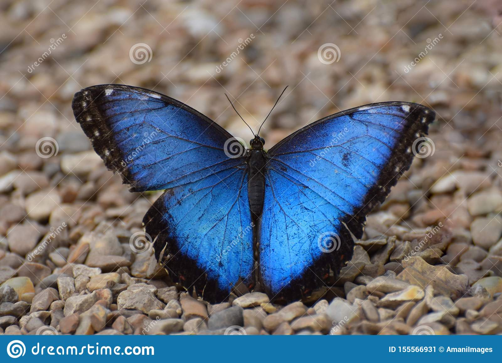 Blue Butterfly. Blue Morpho Tropical Butterfly with open wings